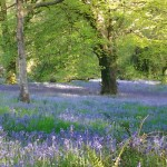 Furzeland Down bluebells